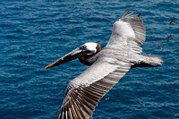 Pelican in Flight | Galapagos Islands, Ecuador