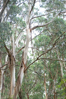 Eucalyptus Forest III | Great Ocean Road, Australia
