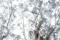 Eucalyptus Forest II | Great Ocean Road, Australia