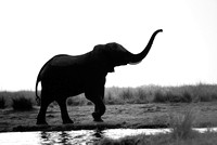 African Elephant I | Chobe River between Zambia and Zimbabwe