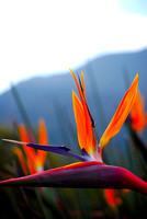 Bird of Paradise | Kirstenbosch Gardens, Cape Town South Africa