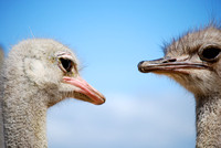 Ostriches | Oudtshoorn, South Africa